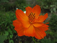 Orange Cosmos sulphureus.jpg