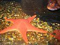 Orange seastar.JPG
