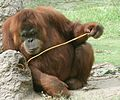 Orangutan using precision grip.jpg