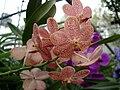 Orchid 2 - Chiang Mai.jpg