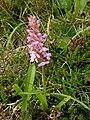 Orchidee Liuthalas 020709.JPG