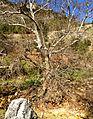 Oriental plane trees, Saimbeyli 05.JPG