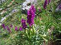 Orquídeas en la Senda del Arcediano. Amieva (Asturias). Parque Nacional Picos de Europa. ES1200001. ROSUROB.JPG