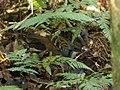 Orthonyx temminckii (35198985831).jpg