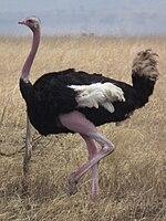 Ostrich Struthio camelus Tanzania 3742 cropped Nevit.jpg
