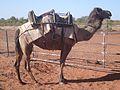 Outback Trip - Camel Farm 2 (4132984202).jpg