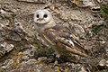 Owl (2724917174).jpg