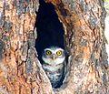 Owl Ranthambore 2.jpg