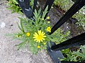Oxford Ragwort (Senecio squalidus), Glasgow, Scotland.jpg