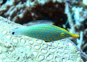 An Orangespotted Filefish