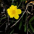 P20130507-0123—Potentilla anserina ssp. pacifica—Point Reyes (8740927555).jpg