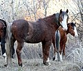 PAIR OF WILD HORSES LOOKOUT MOUNTAIN HERD-OCHOCO (24853892154).jpg