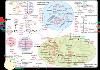 Peroxisome proliferator-activated receptor alpha - Mouse liver PPARalpha transcriptome