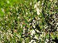 PR Vresova stran 009 Calluna vulgaris.jpg
