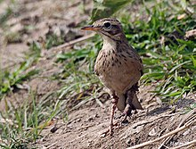 Paddyfield Pipit- with some disease in the legs I IMG 1647.jpg