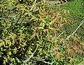 Paeonia suffruticosa 2019-04-16 1007.jpg