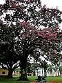 Paineira(Ceiba speciosa), ao fundo a Igreja de Santa Cruz em Santa Cruz da Esperança - panoramio.jpg