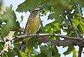 Palm Warbler (23859210908).jpg