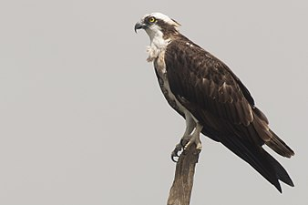 Pandion haliaetus (Nagarhole, 2010).jpg