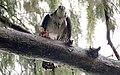 Pandion haliaetus (Osprey) photograph 29.jpg