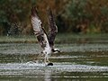 Pandion haliaetus -USA -fishing-8a.jpg