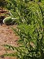 Papaver orientale 2020-05-22 8947.jpg