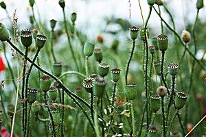 Papaver rhoeas - capsules (KK).jpg