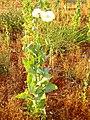 Papaver somniferum ssp setigerum planta DehesaBoyal.jpg