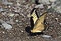 Papilio androgeus CF9A4438 Cu.jpg