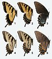 Papilio glaucus adults, MM.jpg