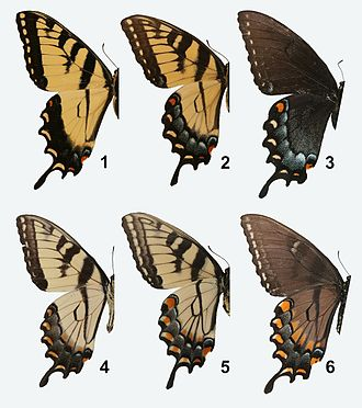 Papilio glaucus - Dorsal and ventral sides. 1. dorsal male; 2. dorsal female; 3. dorsal female (dark morph); 4. ventral male; 5. ventral female; 6. ventral female (dark morph)