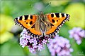 Papillon (64750301).jpeg