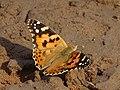 Papillon migrateur Tanguiéta.jpg