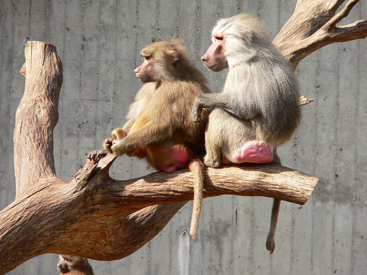 Sexually dimorphic primates