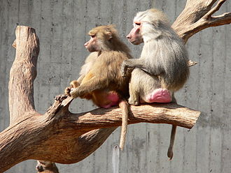 Hamadryas baboon - Males and females are distinguished by their differences in size and color.