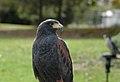 Parabuteo unicinctus -falconry show-8a (7).jpg
