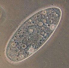 Paramecium aurelia
