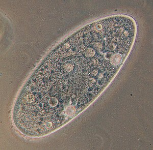 Orders of magnitude (length) - A paramecium is around 300 µm long.
