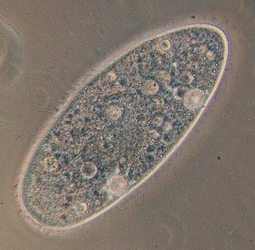 Paramecium aurelia, the best known of all. The bubbles throughout the cell are vacuoles. The entire surface is covered in cilia, which are blurred by their rapid movement. Cilia are short, hair-like projections that help with locomotion.