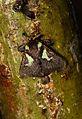 Parasa canangoides (Limacodidae- Limacodinae) (5719182463).jpg