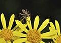Pardosa amentata qtl3.jpg