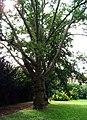 Park Charlotty G. Masarykové, strom.jpg
