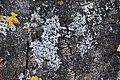 Parmelia sulcata 98439997.jpg
