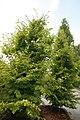 Parrotia persica 8zz.jpg