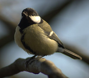 This is an adult female of species Parus major...