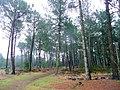 Path through the pines - geograph.org.uk - 1770375.jpg
