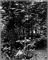 Path through trees, probably Ravenna Park, ca 1895 (SEATTLE 4635).jpg