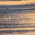 Peaceful dove town bypass road Burke River floodplain Boulia Queensland P1060558.jpg