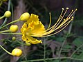 Peacock Flower yellow - Gold Mohur.jpg
