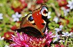 Peacock butterfly IMG 7457 (9496678612).jpg